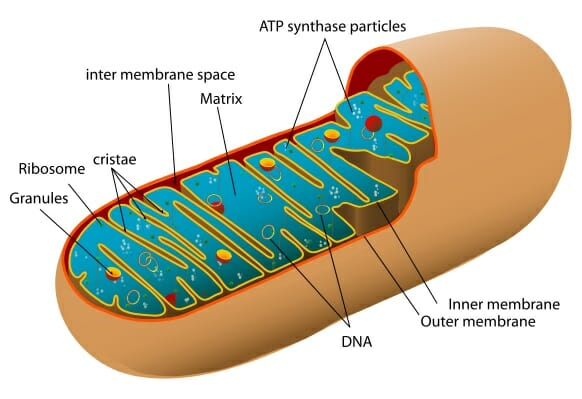 mitochondria definition function structure biology dictionary