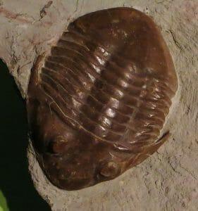 Asaphus platyurus