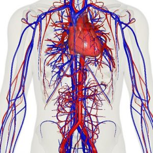 Blood vessels network