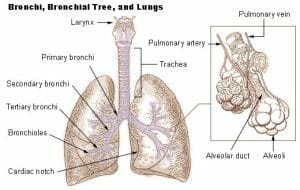 Bronchi lungs