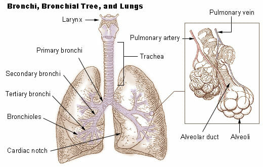 bronchioles - definition and function | biology dictionary, Human Body