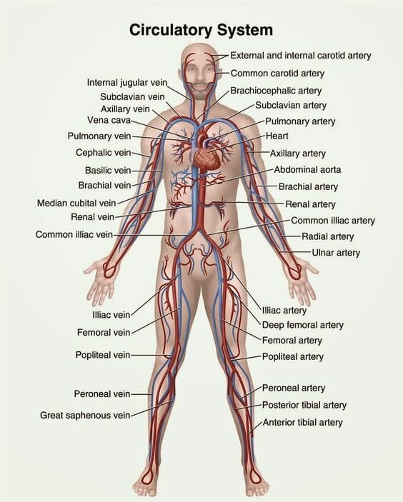 circulatory system - definition, functions, organs & diseases, Human Body