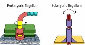 Difference Between Prokaryote and Eukaryote Flagella