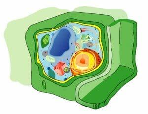 Eukaryota cell strucutre