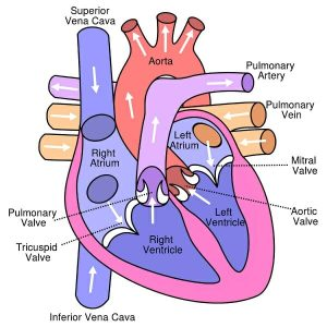 Human heart diagram
