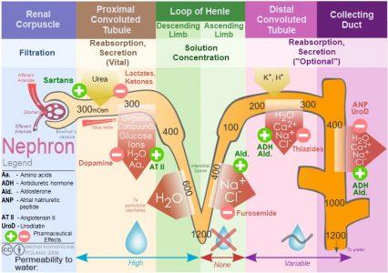 Kidney nephron molar transport diagram