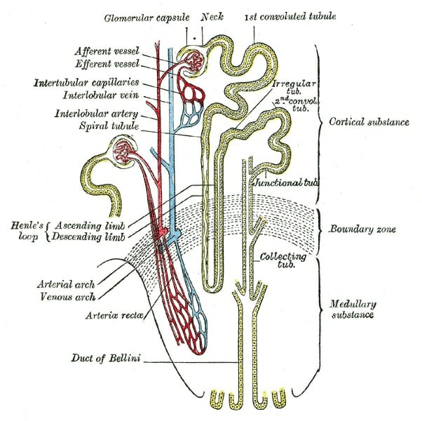 Excretory system definition functions organs diseases facts each nephron begins with a globular structure called the bowmans capsule located in the renal cortex ccuart Image collections
