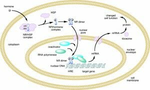 Nuclear receptor action