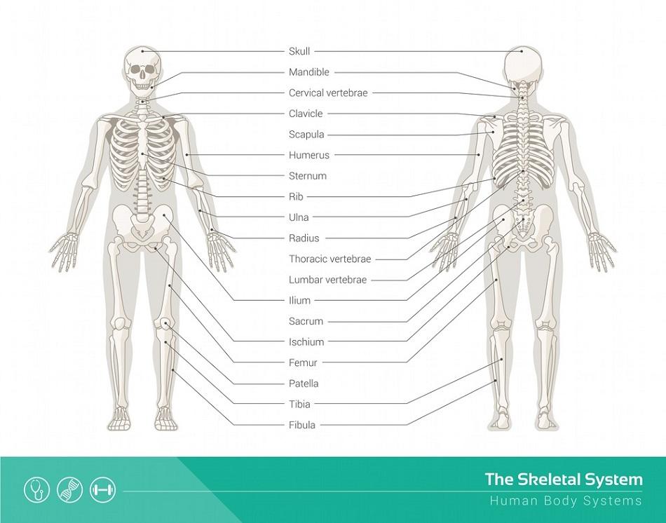 human skeletal system diagram labeled    skeletal       system    definition  function and parts biology     skeletal       system    definition  function and parts biology