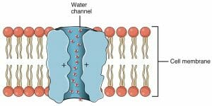 Aquaporin Water Channel