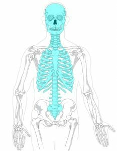Axial skeleton diagram