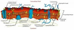 Cell membrane diagram