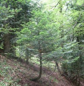 Gravitropism tree