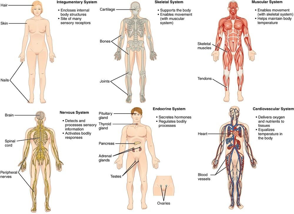 Body Systems Definition List Of Systems And Functions Biology