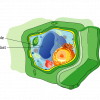 Central Vacuole