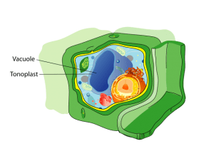 Plant cell structure - vacuole