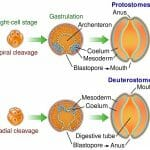 Protostome
