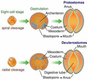 Protostomes vs deuterostomes