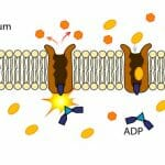 Transport Protein