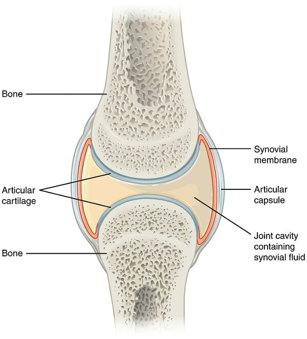 synovial joint (diarthrosis) - definition, types, structure, Human Body