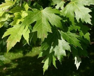 Acer saccharinum leaves