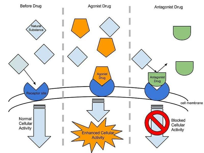 Agonist vs antagonist therapy | malibu drug addiction treatment.