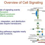Types and Stages of Cell Signaling