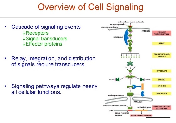 Cell Signaling - Definition, Pathways and Quiz | Biology