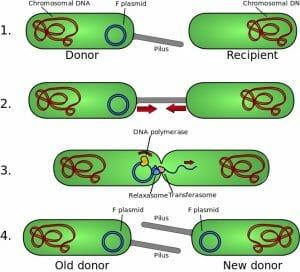 Bacterial Conjugation Steps