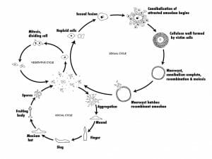 Dictyostelium discoideum life cycle