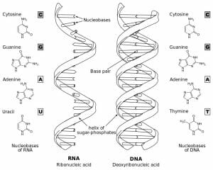 Difference of DNA and RNA