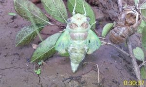 Ecdysis in cicada