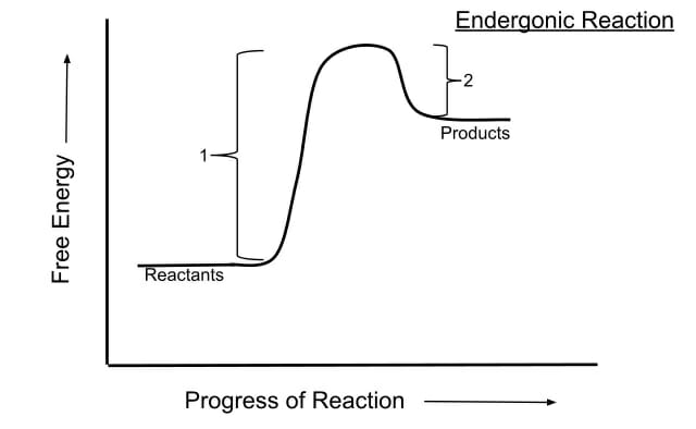 Endergonic Reaction - Definition, Examples and Quiz   Biology Dictionary