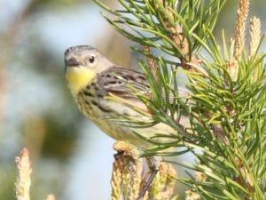 Kirtland's Warbler - female
