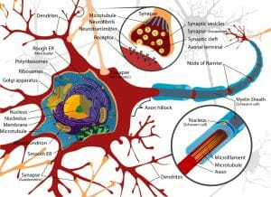 Neuron cell diagram