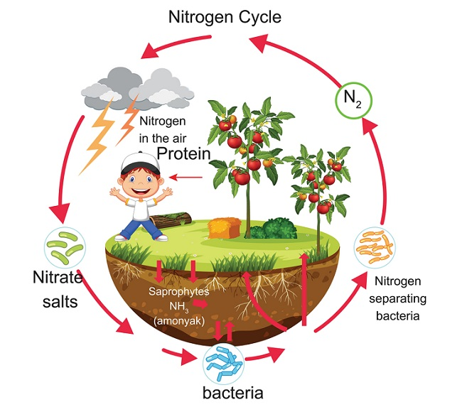 Nitrogen Cycle Definition Steps And Importance Biology