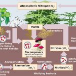 The Path of Nitrogen through its Biogeochemical Cycle