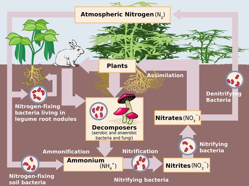 The Path of Nitrogen through its Biogeochemical Cycle – Nitrogen Cycle Worksheet Answers