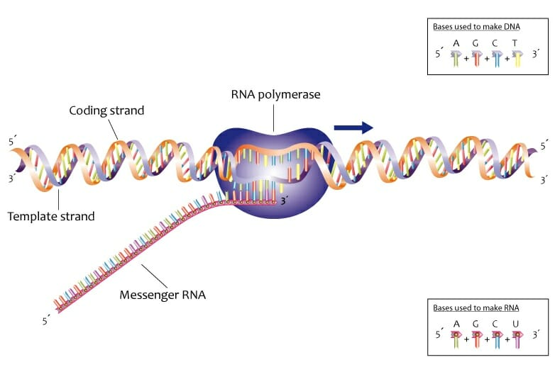 what is the function of dna and rna
