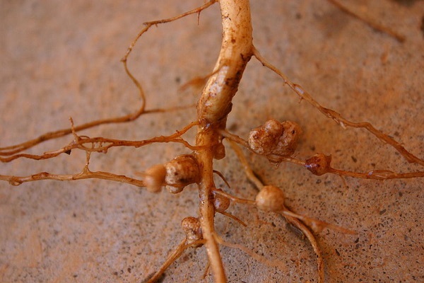 Rhizobia nodules on Vigna unguiculata