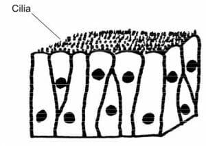 Animals columnar epithelium with cilia