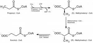 Beta oxidation of odd-numbered fatty acids