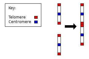 Chromosome 2 merge
