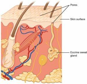 Eccrine gland