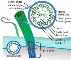 Eukaryotic cilium