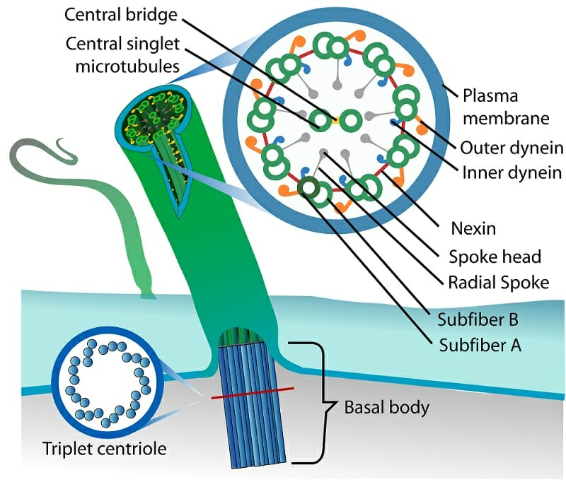 cilium definition, function and structure biology dictionary Cilium Microvilli Diagram difference between cilia and microvilli