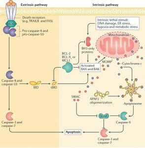 Extrinsic and intrinsic apoptotic signalling pathways