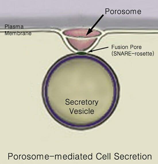 Secretion - Definition, Explanation and Quiz   Biology ...