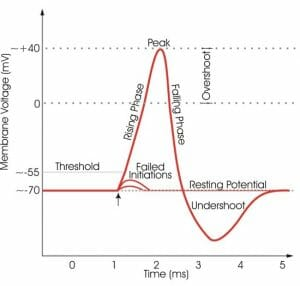 Relabeled action potential