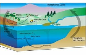 Simple phosphorus cycle